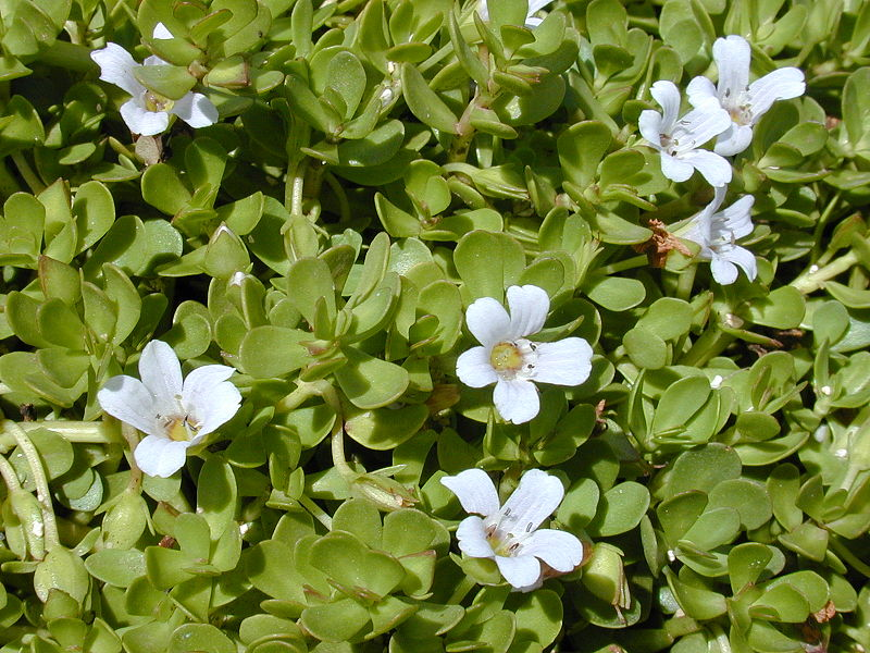 Bacopa monnieri - Kleines Fettblatt - Forest & Kim Starr - wikimedia commons