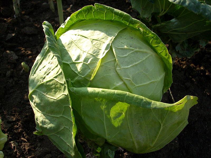 Weisskohl, Brassica-oleracea, Bild: Biso, wikimedia commons
