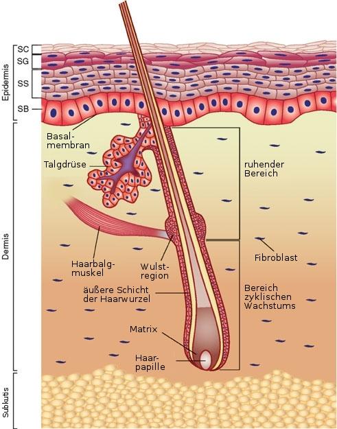 Anatomie der Haut. Bild: Wong Chang, Quelle: wikimedia commons