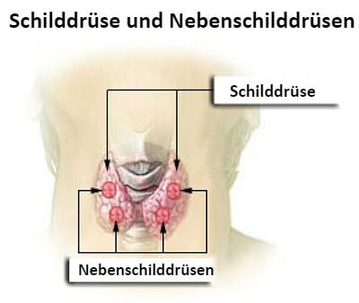 Schilddrüse und Nebenschilddrüse